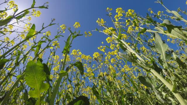 vídeos de stock e filmes b-roll de bottom view from a colza field in springtime - crucíferas