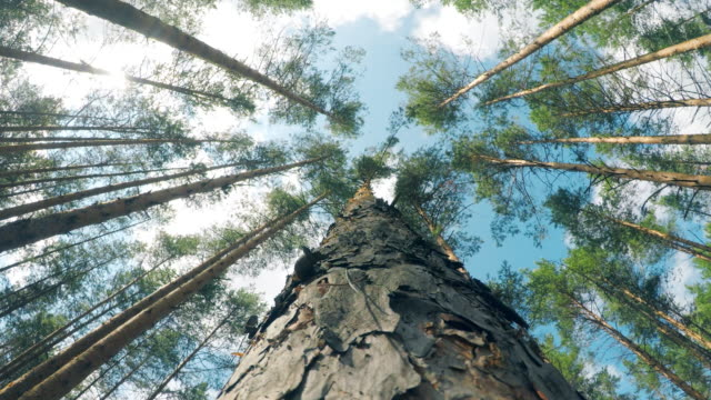 bottom view of a pine falling onto the ground - andare giù video stock e b–roll