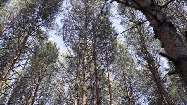 Bottom view of pine tree in forest. Big and tall pine tree when looking up. Large tree with forked branches. Vertical panoramic scene of tree in beautiful nature scene - video