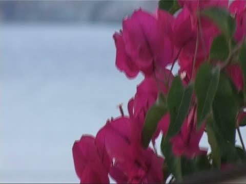 bougainvillea on an aegean island - egeiska havet bildbanksvideor och videomaterial från bakom kulisserna