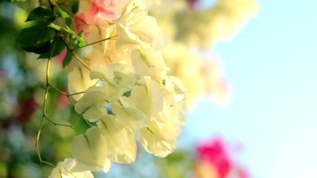 Bougainvillea video