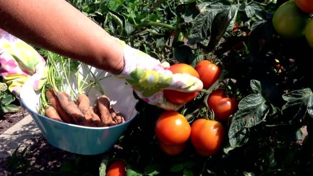 reiche ernte im bio-garten, karotten, aubergine, urban gardening, tomate, 4k - karotte peace stock-videos und b-roll-filmmaterial