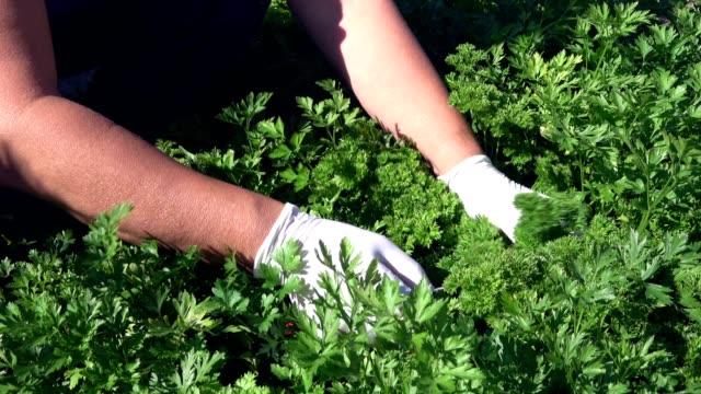 バイオ ガーデン、庭のパセリ、セリ科植物遺伝、都市園芸、4 K で豊かな作物 ビデオ