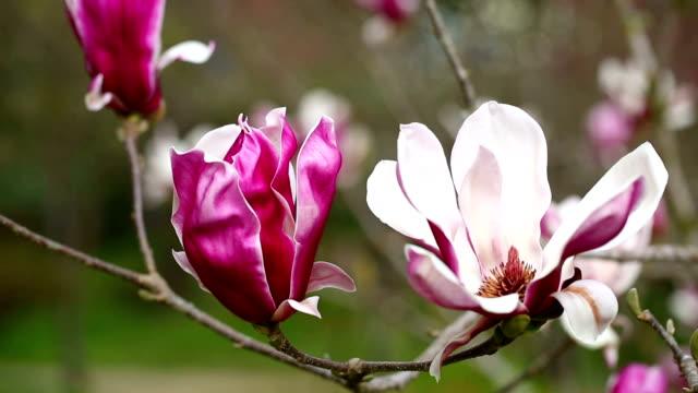 Bouquet magnolia flower video