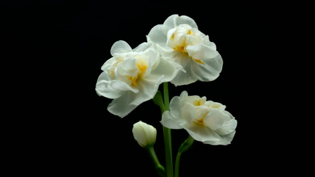 bouquet of blooming beautiful daffodils on a black background, time lapse, 4k