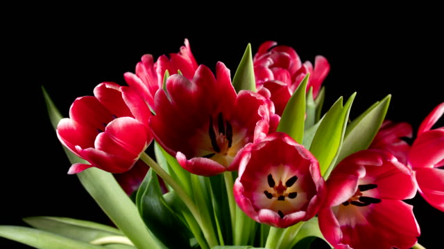 Bouquet of bright red tulips blooms video