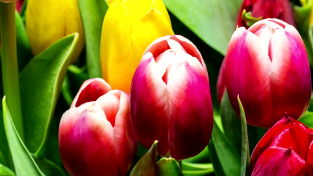 Bouquet of Bright Tulips Blooms Bouquet of Bright Tulips Blooms, timelapse tulip stock videos & royalty-free footage