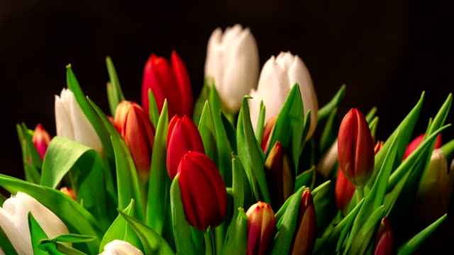 Bouquet of bright tulips blooms video