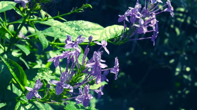 bouquet di fiore viola su albero, salvia blu, ixora viola - disordine affettivo stagionale video stock e b–roll