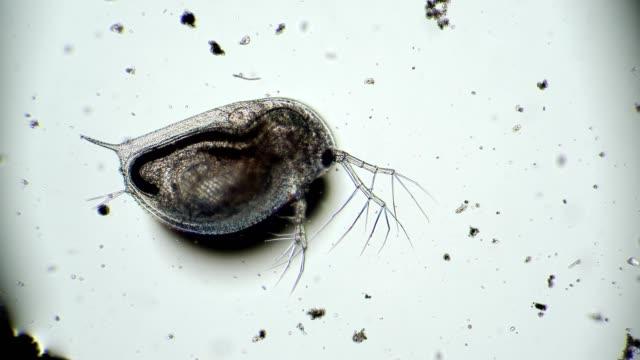 mikroorganismens tarmtömning från daphnia-dammen i mikroskop - medicinskt stickprov bildbanksvideor och videomaterial från bakom kulisserna