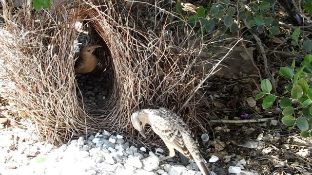 Bowerbirds video