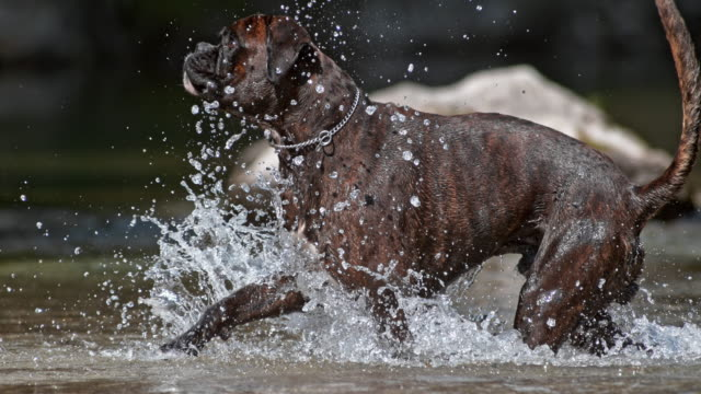 SLO MO Boxer dog jumping and running in creek