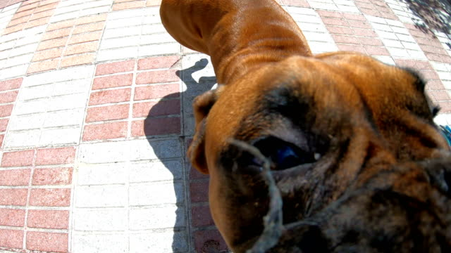 Boxer dog jumps and bites Boxer dog jumps and bites. Try to bite the rope. Take a slow motion. Shooting very close to the mouth of the dog wide angle stock videos & royalty-free footage