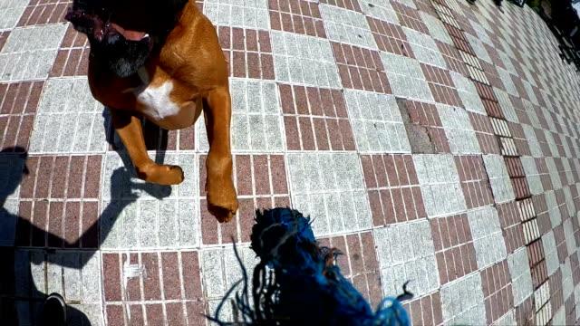 ボクサー犬ジャンプと咬傷 - 叙情的な内容点の映像素材/bロール