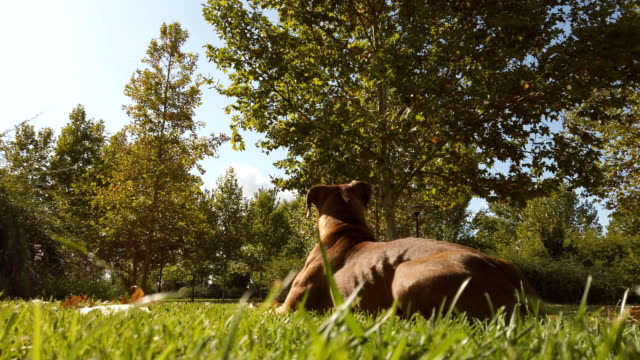 boxer dog lying on the grass