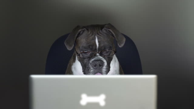 Boxer dog reads on a computer laptop Cute Boxer dog watches a video on her computer.  Her eyes move back and forth as she reads the electronic device.   She gets excited about the story and displays physical signs of her excitement in this funny and humorous video.  The screen of the video flashes onto the dog as she watches. wisdom stock videos & royalty-free footage