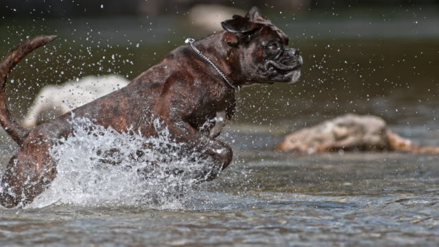SLO MO TS Boxer dog running in the river