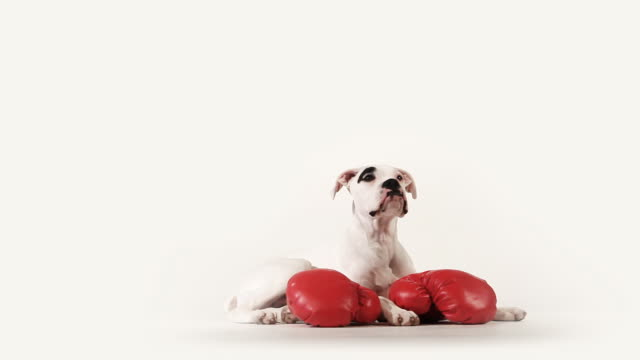 Boxer Dog video