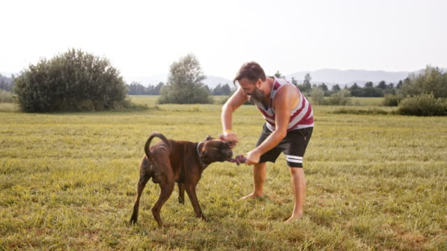 SLO MO Boxer playing with it's male owner in the meadow