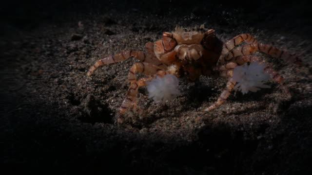 pugile pon pon pon tenere anemoni di mare, granchio indonesia (4k - granchio video stock e b–roll