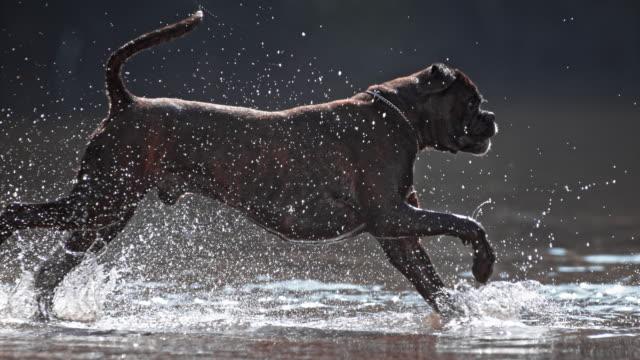 SLO MO TS Boxer running across water