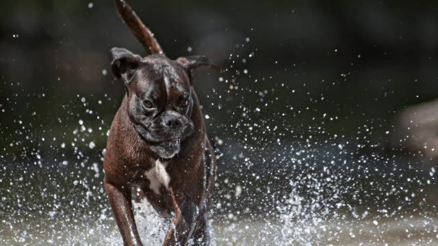 SLO MO Boxer running in the creek on sunny day