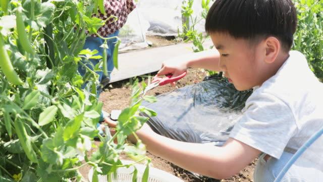 boy harvesting vegetables in the field - gardening video stock e b–roll
