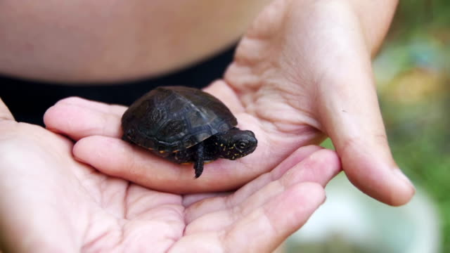 Boy Holding a Small Turtle in the Palm of your Hand that Creeps. Slow Motion video