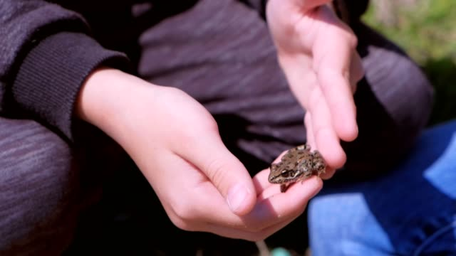Boy holds in hands catching little frog and touches it back, hands closeup. video