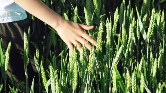 boy is conducting his hand on the spike of green wheat in the field in the summer.