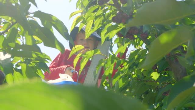 pojke på körsbärs träd plockar körsbär och äta dem i den gröna körsbärs trädgården på sommaren solig dag. - skylift bildbanksvideor och videomaterial från bakom kulisserna