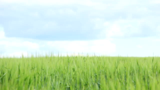 boy playing war in the wheat growing in the field on sky background video