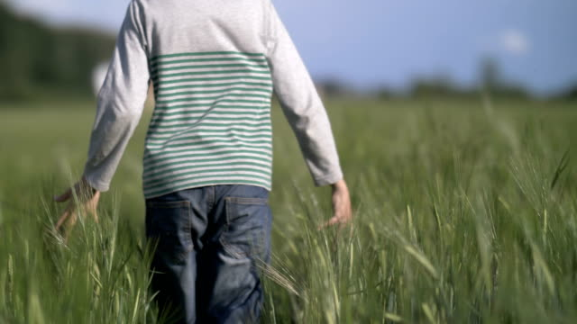boy walks along a wheat field, holds a hand on wheat, back view video