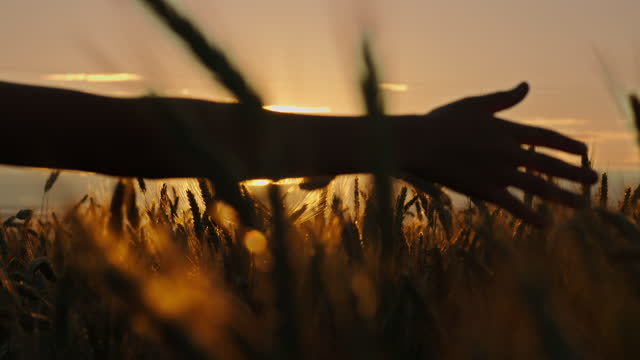 boy's hand on a wheat field at sunset sliding on ears video