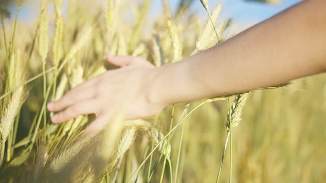 boy's hand sliding on ears of wheat against the background of the sky, yellow wheat ears in the sun video