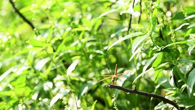 brachithemis contaminata o gioiello fosso una specie di libellula arroccata su sfondo verde naturale nel parco nazionale di keoladeo o nel rajasthan india del santuario degli uccelli di bharatpur - libellulidae video stock e b–roll