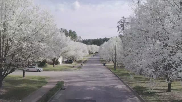 Bradford pears line neighborhood streets in the spring