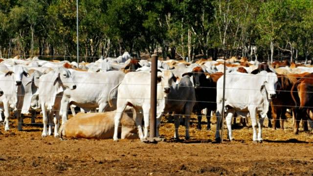 brahman cattle for export