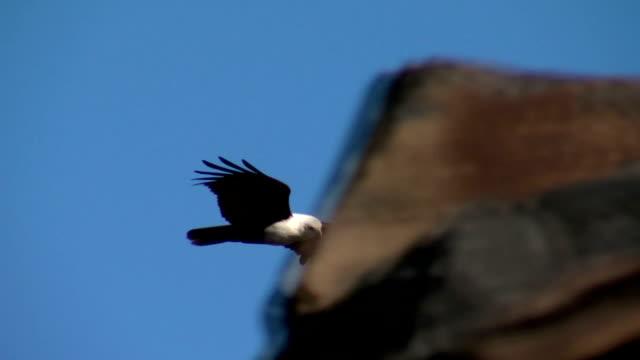 Brahminy Kite, Bald Sea Eagle Soaring Low Over Rocks video