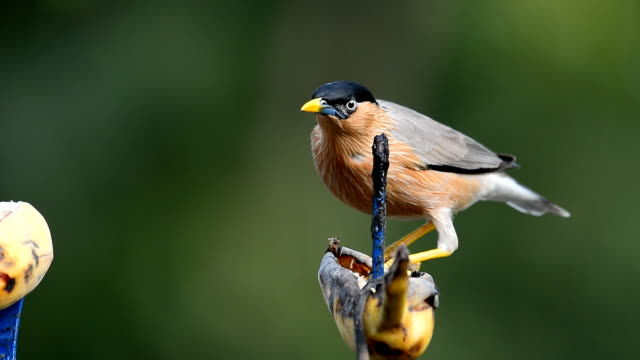 Brahminy Starling bird video