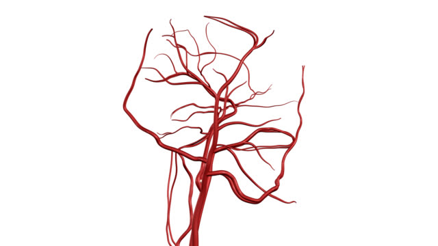 vídeos de stock e filmes b-roll de artérias cerebrais hd, ntsc, pal - sistema nervoso humano