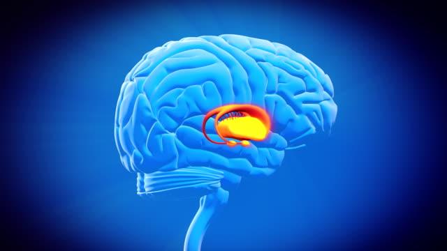 vídeos de stock e filmes b-roll de cérebro parte-núcleo basal - ventrículo do coração
