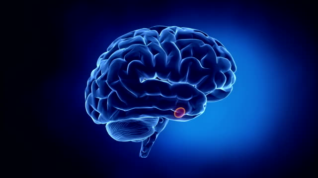 Brain parts position and explanation