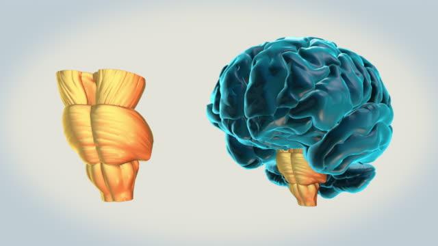 BRAIN-Brainstem on a white background Human Brain Atlas cerebellum stock videos & royalty-free footage