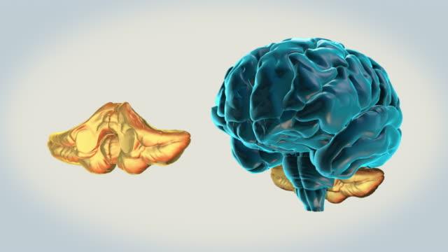 BRAIN-Cerebellum on a white background Human Brain Atlas cerebellum stock videos & royalty-free footage