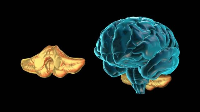 vídeos de stock e filmes b-roll de brain-cerebellum - cerebelo