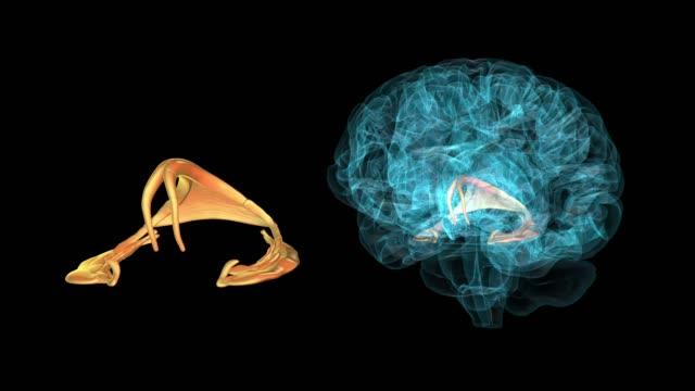 vídeos de stock e filmes b-roll de brain-fornix ) - cerebelo