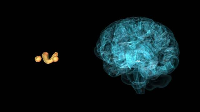 vídeos de stock e filmes b-roll de brain-habenula - cerebelo