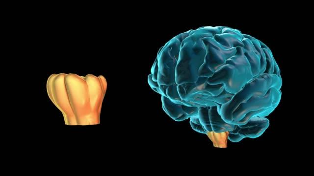vídeos de stock e filmes b-roll de brain-medulla oblongata - cerebelo