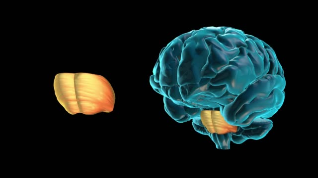 BRAIN-Pons Human Brain Atlas cerebellum stock videos & royalty-free footage